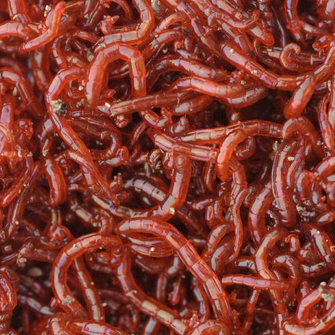 Bloodworm frozen fish food freshwater and marine bcuk for Bloodworms for fish